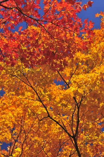 albero foglie acero baldacchino lascia autunno