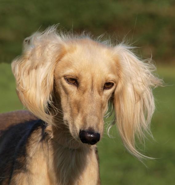 profilo ritratto guardare osservare cane levriero