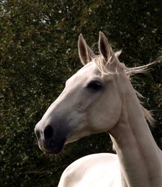 cavallo pelliccia cavalli criniera stampo