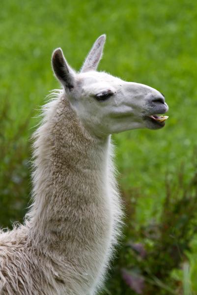 bocca denti cammello in piedi aperto