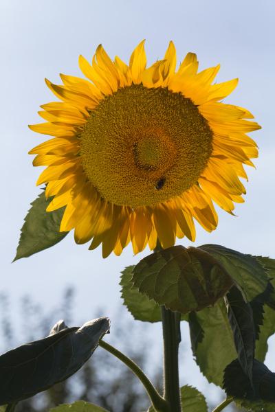 fiore fioritura flora botanica estate girasole