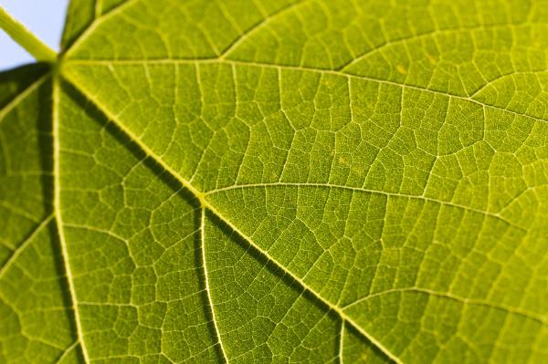 blu foglia primo piano close up