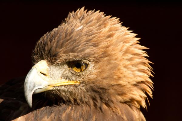 animale uccello aquila falco natura testa