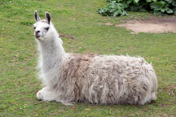 animale mammifero agricoltura fattoria alpaca coltivare