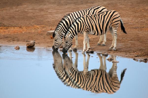 acqua potabile delle zebre delle pianure