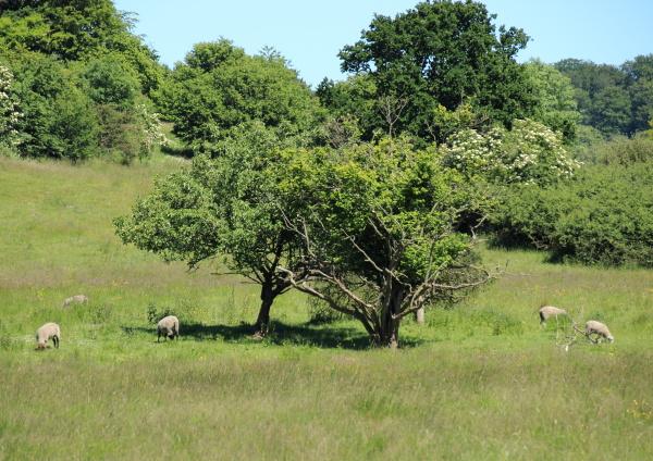 campo danimarca pecora paesaggio natura