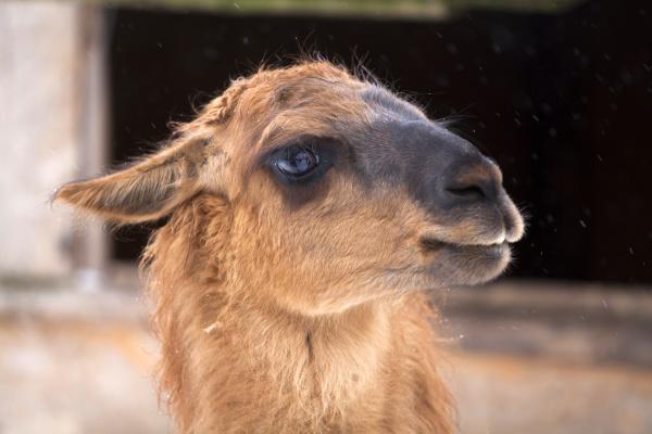 animale mammifero alpaca peru impertinente carino