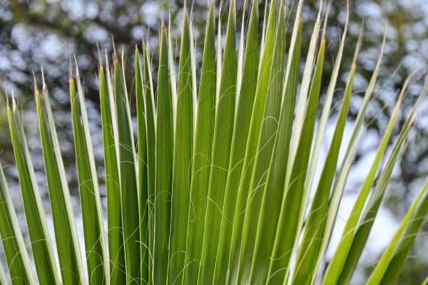 foglie, di, palma, nella, provincia, di - 28217199