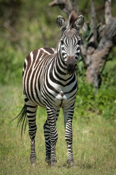 la, zebra, delle, pianure, sta, guardando - 28257479
