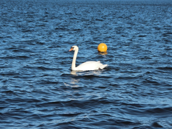 isolated, white, swan, on, empty, blue - 29745824