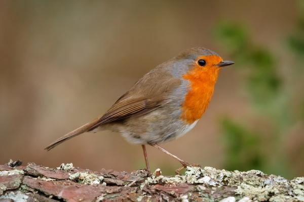 grazioso, uccello, con, un, bel, piumaggio - 29783851