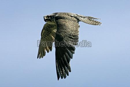 animale uccello uccelli rapace ala dondolare