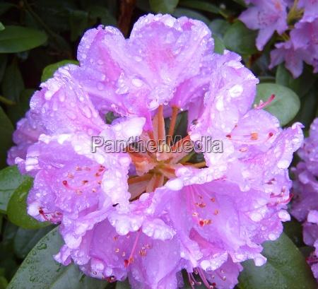 rododendro rosa regentropfen