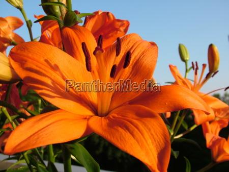 blu fiore fioritura giglio arancione cielo