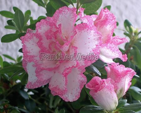 piantare seminare fioritura fiore fiori caucasico