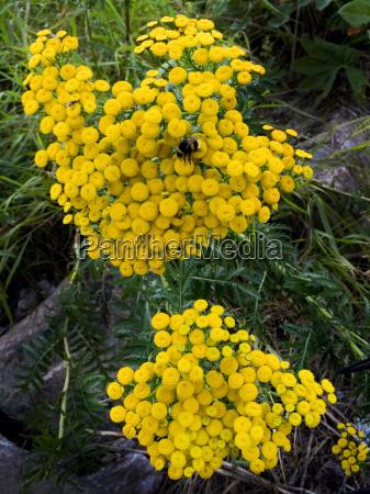 fioritura veleno omeopatia medicina pianta medicinale