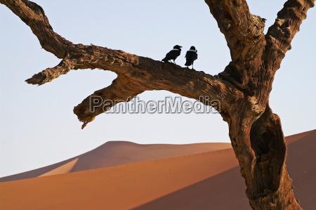 albero deserto uccello namibia uccelli rami