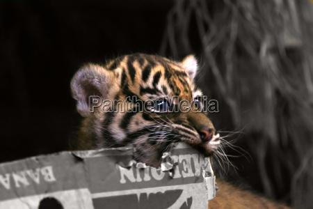 felino gatto tigre orecchie prole naso