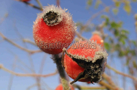 inverno freddo gelo frutta brina biancospino