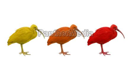 uccello uccelli penne piume esotico piumaggio