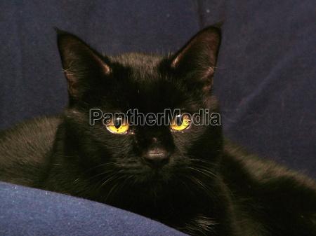 nero occhi orecchie pelliccia ardere gatto