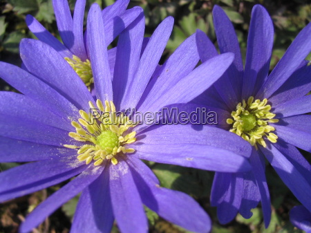 blu primavera anemone pianta bulbosa strahlenanemone