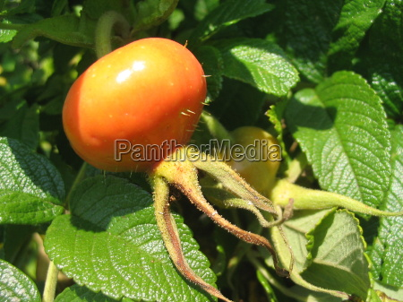 frutta biancospino rosa selvatica autunno herbstfrucht