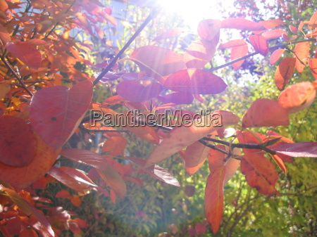 luce foglie autunnale controluce foglie di