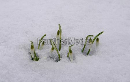 inverno freddo ghiaccio primavera fiore impianto