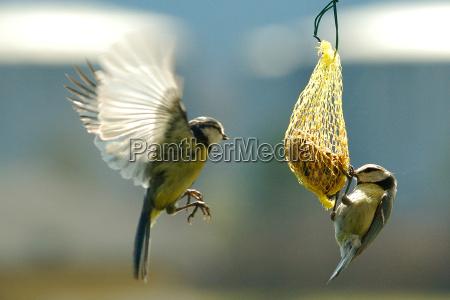 foraggio uccello uccelli discutere atterrare approdare