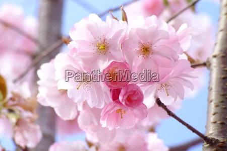 blu fioritura colorato fiore fiori primavera