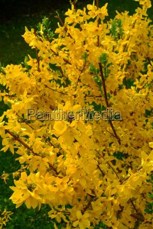 flower forsythia