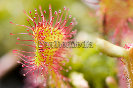 journal of drosera rotundifolia 6