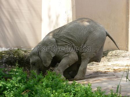 animale elefante tirare lavoro pesante difficile