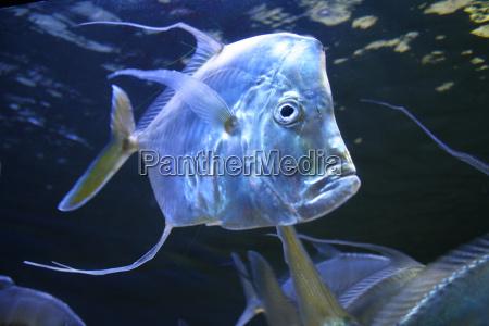 pesce argento piccolo poco breve scheletro