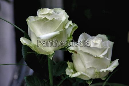 caucasico bianco rose pungiglione innocenza immacolato