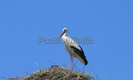 blu caucasico bianco becco cicogna nido