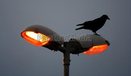 uccello uccelli lanterna lume corpo luminoso