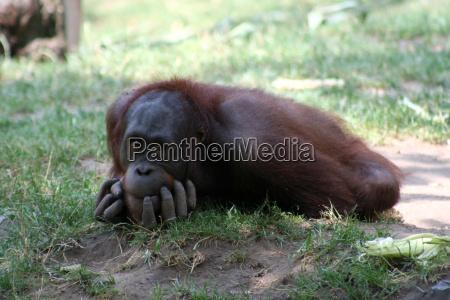 mammifero marrone luce soleggiato scimmia pelliccia