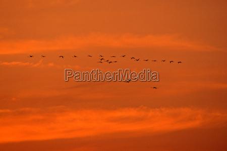 volo uccello uccelli tramonto sera cielo