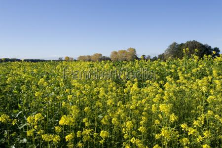 rapeseed field in autumn