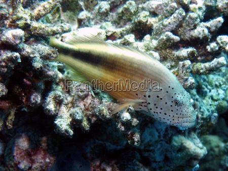 guardiano corallo a strisce
