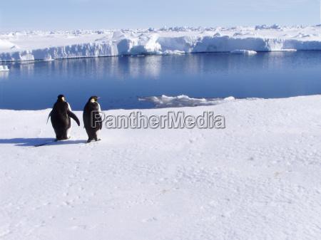 amicizia deserto inverno animale uccello artico