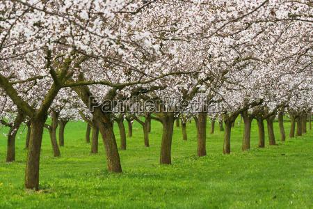 albero verde fioritura agricoltura austria caucasico