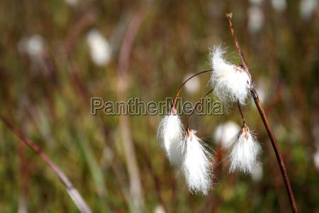 fiore palude pascolo alpino austria pianta