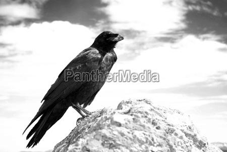 no raven sw 2