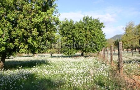 albero alberi fioritura maiorca primavera recinto