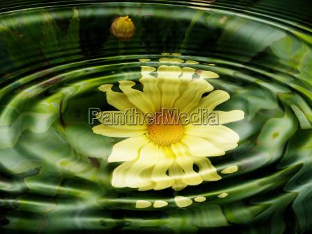 flora acquatiche fiori wasserspiegelung