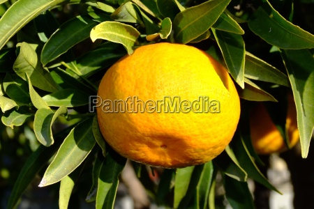 arancia vitamina albero verde foglie frutta