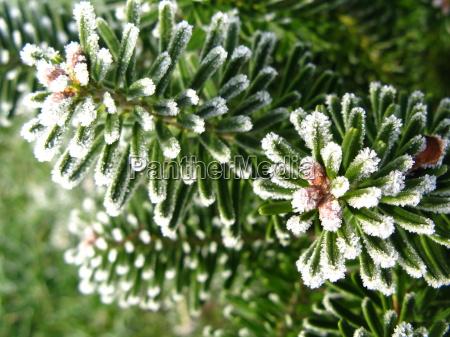 inverno freddo maturo gelo sempreverde conifera